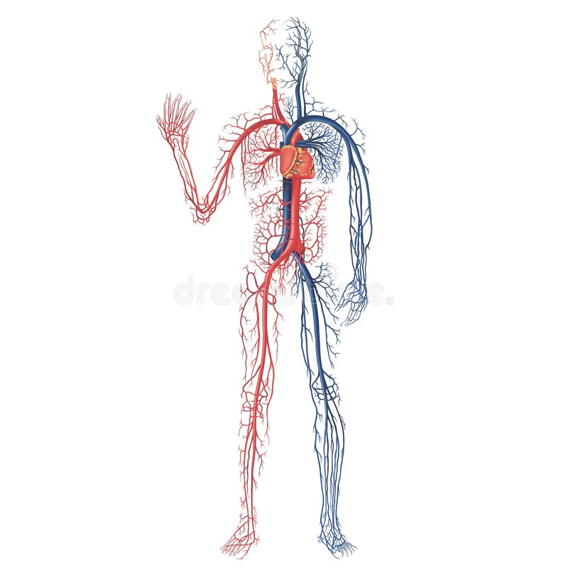 Vascular System Royalty Free Stock Photography