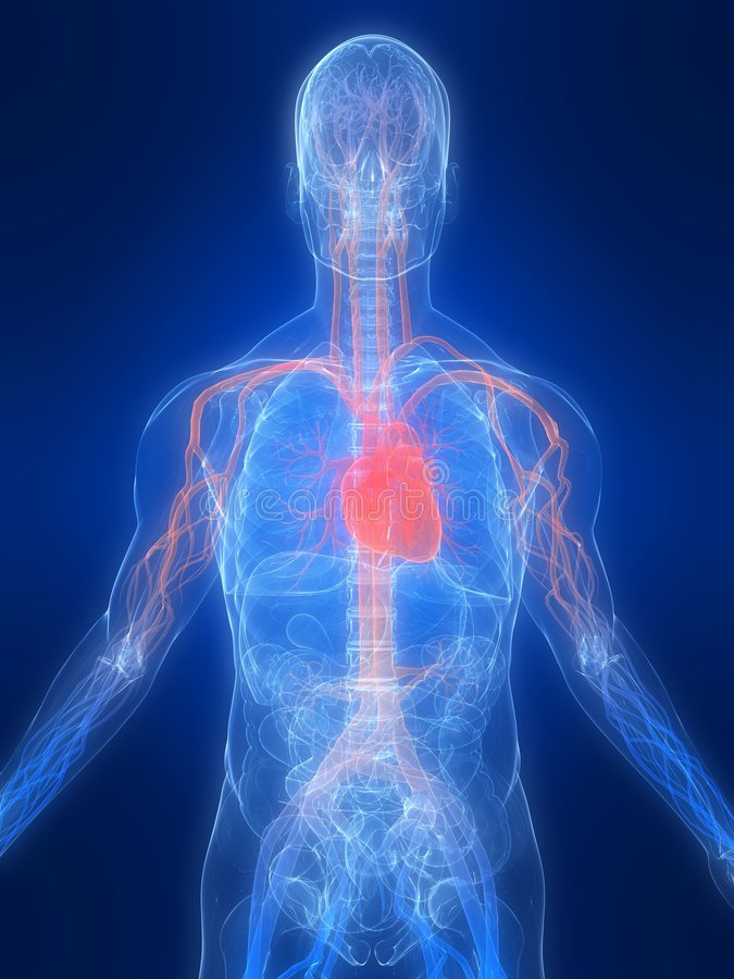 Vascular system vector illustration