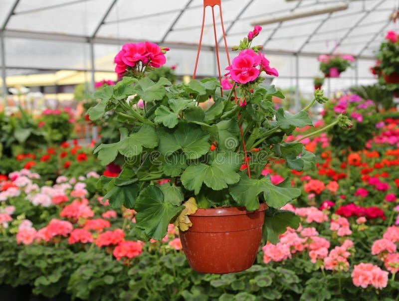 Vase avec des géraniums de fleurs à vendre en serre chaude photographie stock