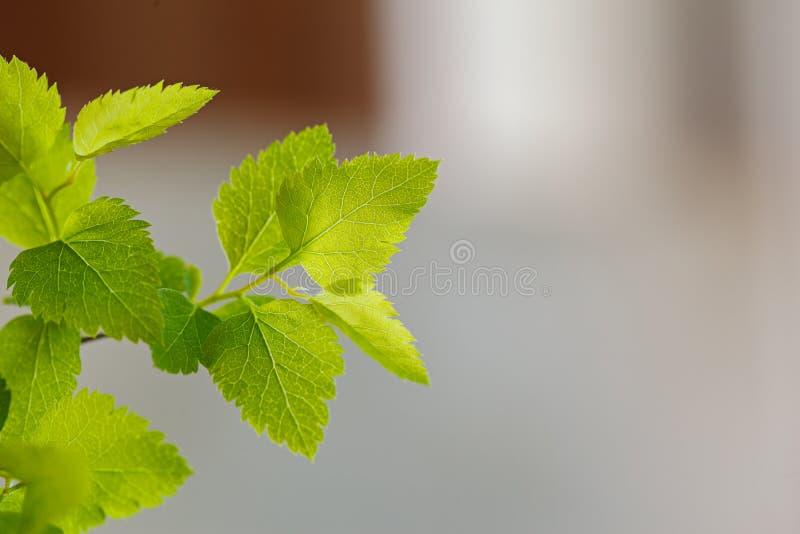 Vase bleu avec les branches vertes fraîches sur le mur gris photos libres de droits