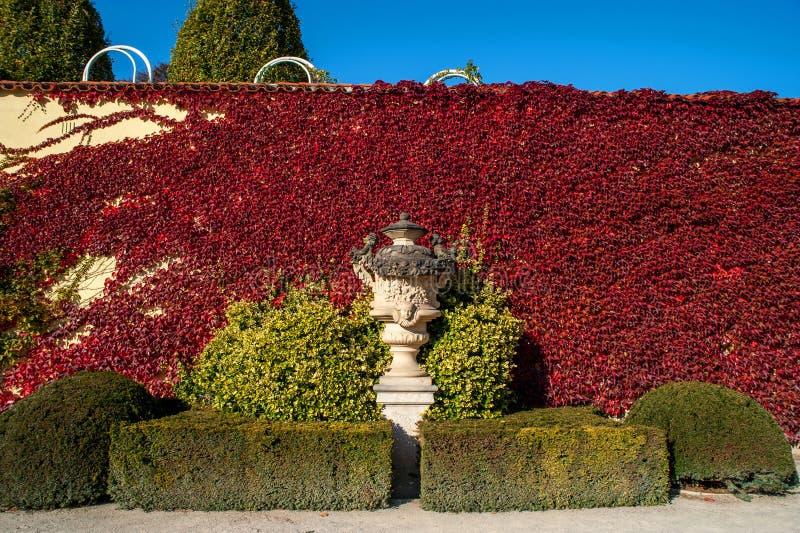 Vase décoratif à jardin de Vrtba contre le mur couvert par la plante grimpante de Virginie rouge photo stock
