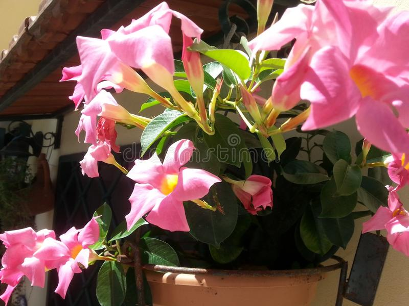 Vase mit Mandevillablumen stockfoto