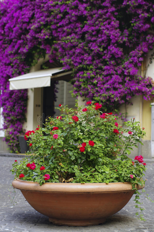 Free Vase With Rose Bushes Stock Photography - 20680172