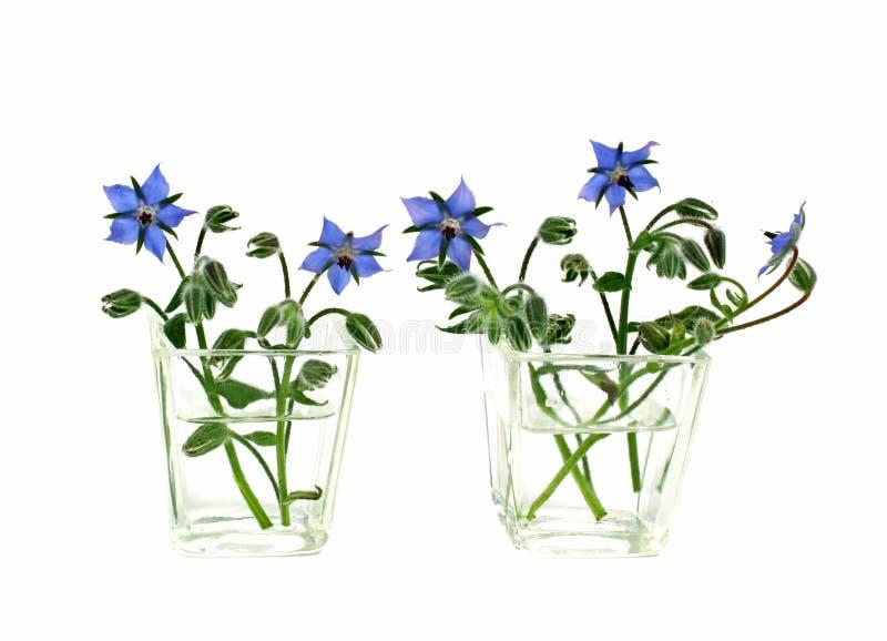 Vases of borage flowers stock image