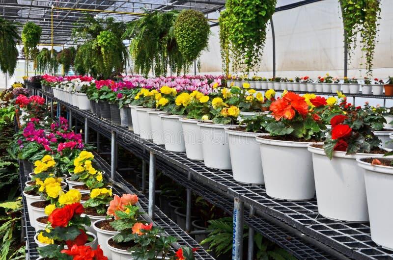 Vasi bianchi dei fiori colorati della begonia immagini stock