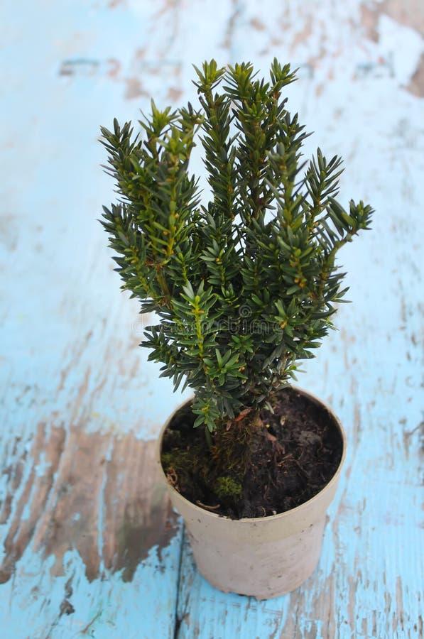 Vasi con le giovani piante della conifera fotografia stock