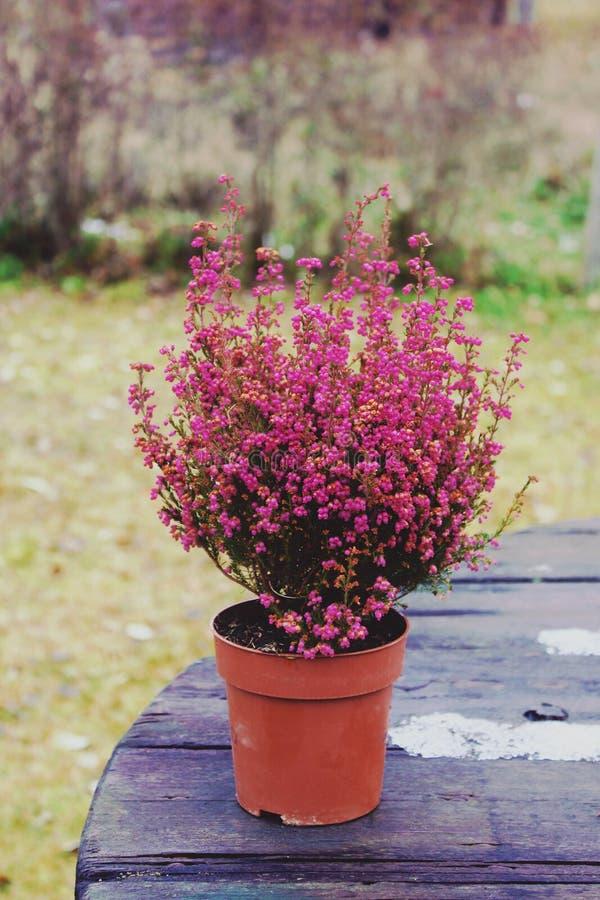 Vasi con le giovani piante della conifera fotografia stock libera da diritti