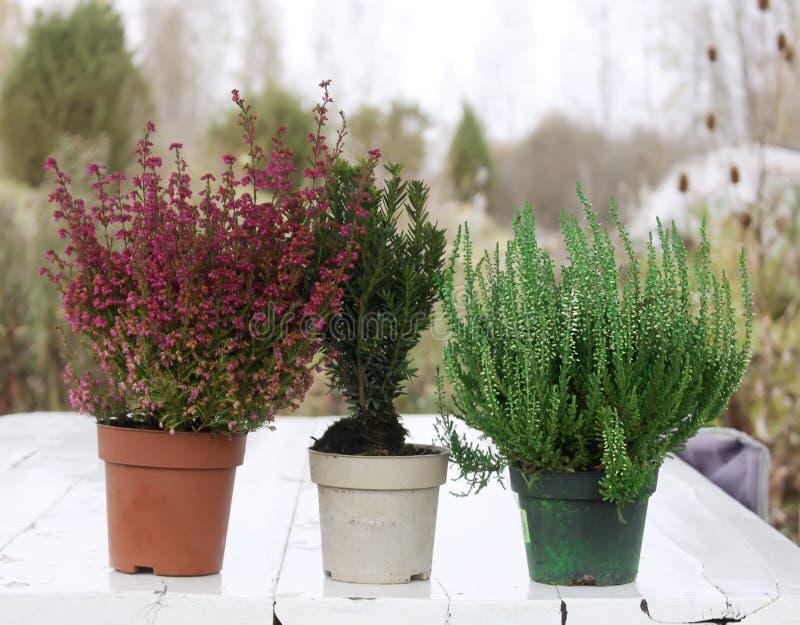 Vasi con le giovani piante della conifera immagini stock
