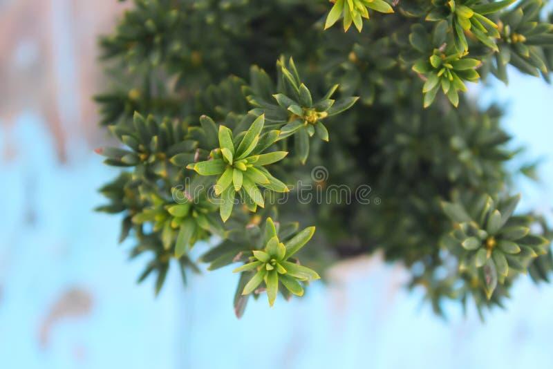 Vasi con le giovani piante della conifera fotografie stock libere da diritti