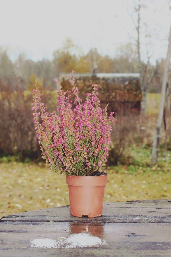 Vasi con le giovani piante della conifera immagine stock