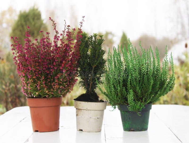 Vasi con le giovani piante della conifera immagine stock libera da diritti