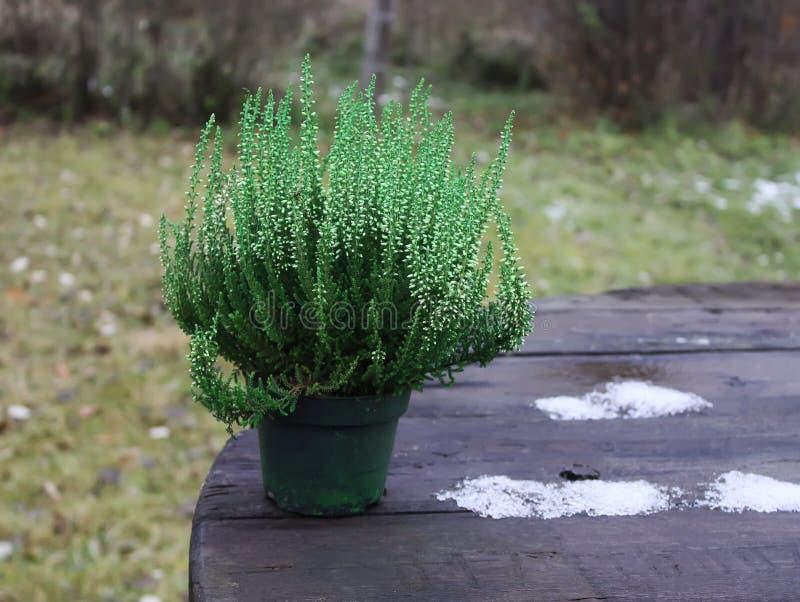 Vasi con le giovani piante della conifera fotografie stock