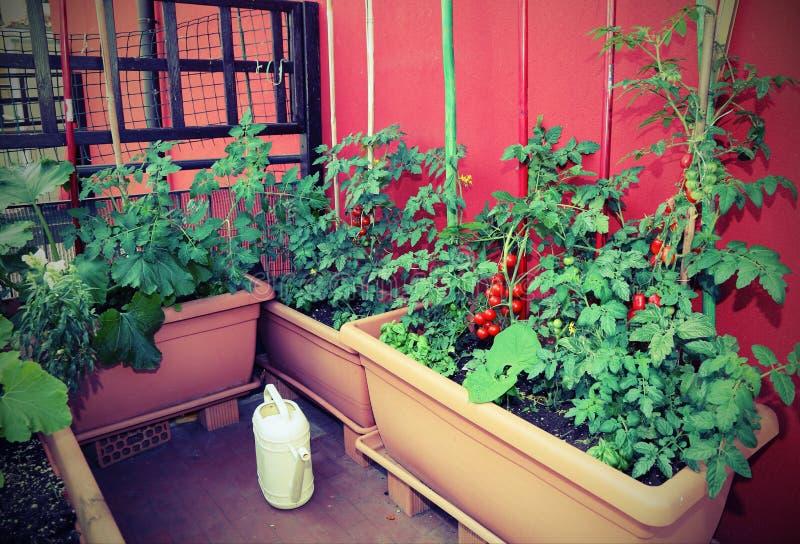 Vasi con le piante di pomodori sul terrazzo della casa con il antiqu immagine stock