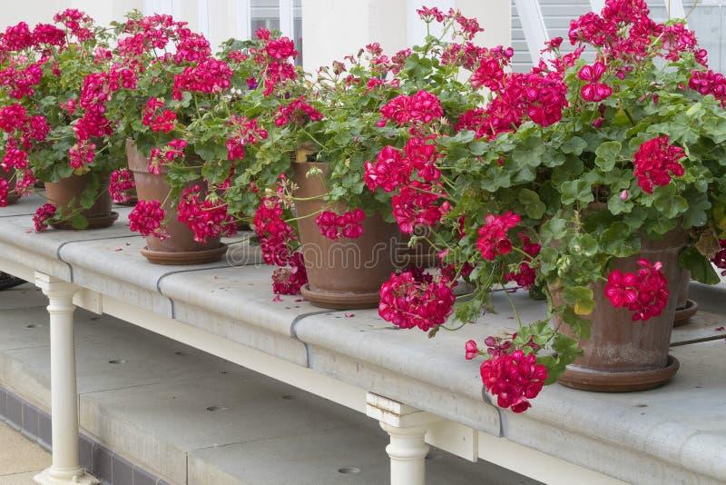 Vasi da fiori con i fiori del geranio in una fila su un davanzale di pietra bianco immagine stock libera da diritti