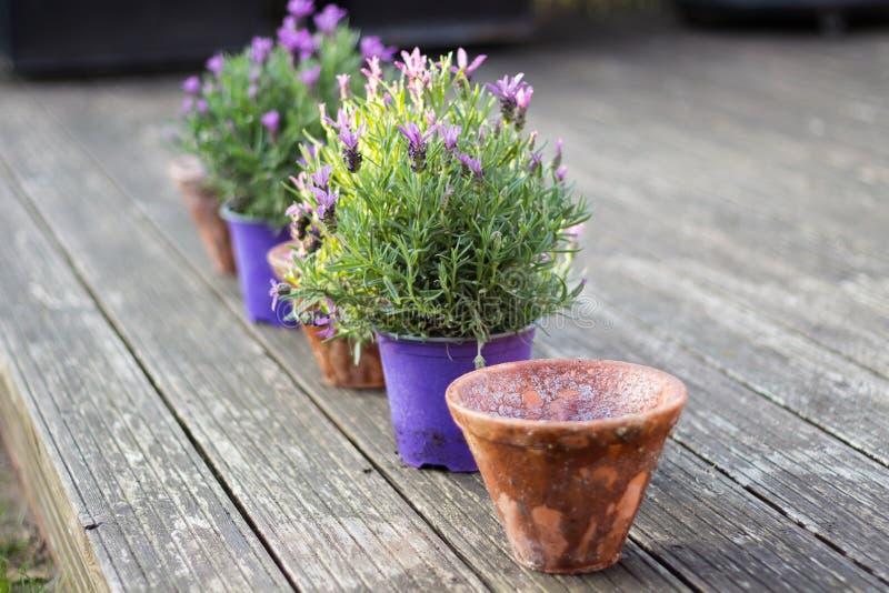 Vasi da fiori d'annata di stile e piante conservate in vaso della lavanda immagini stock libere da diritti