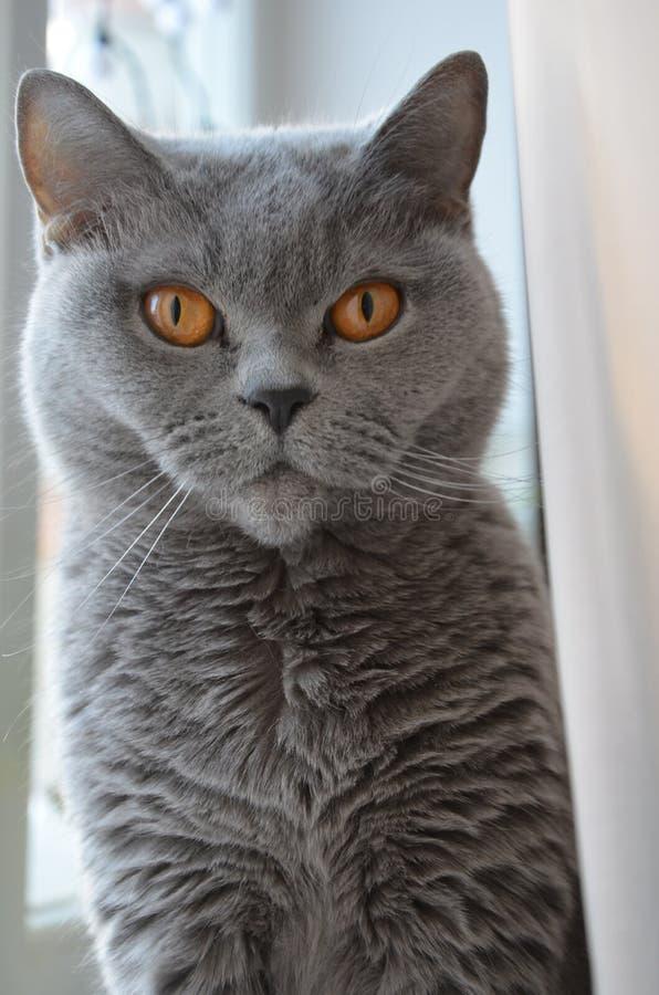 Vasilisa,我的父母猫  图库摄影