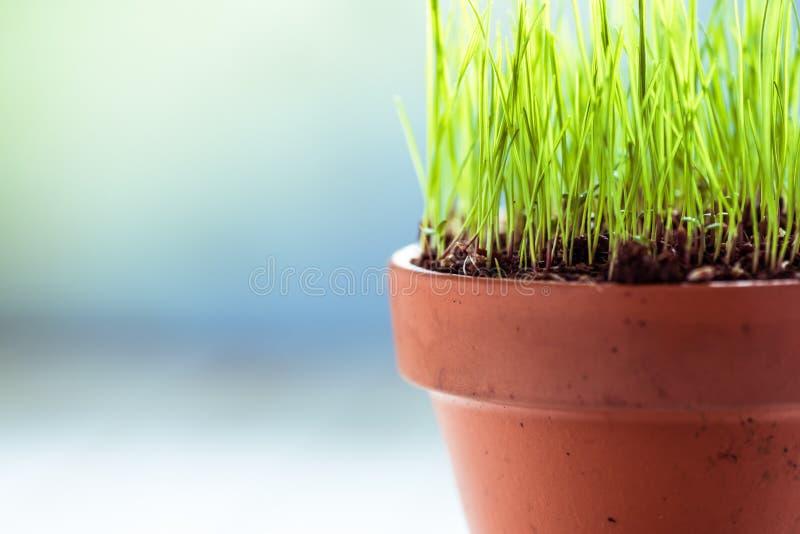 Vaso ceramico con l'erba fresca della molla immagine stock libera da diritti
