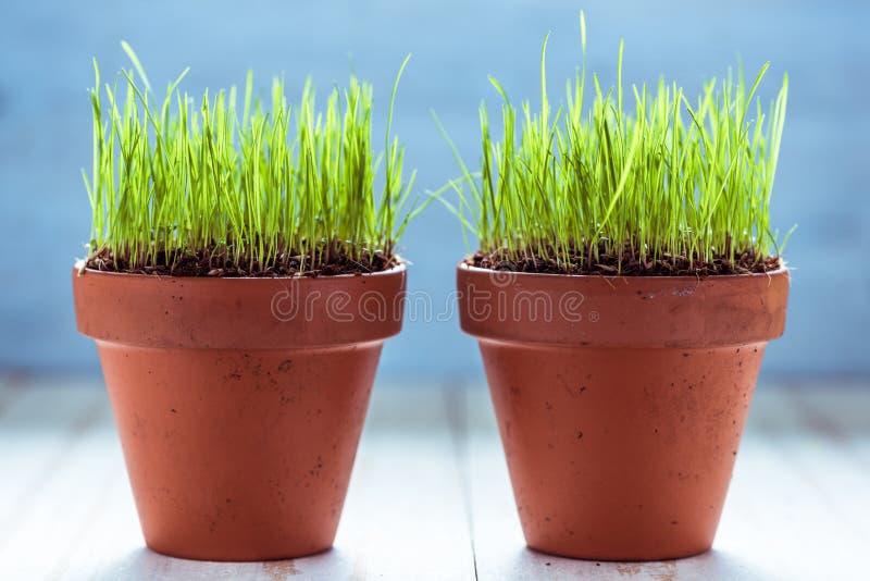 Vaso ceramico con la crescita fresca dell'erba fotografie stock libere da diritti