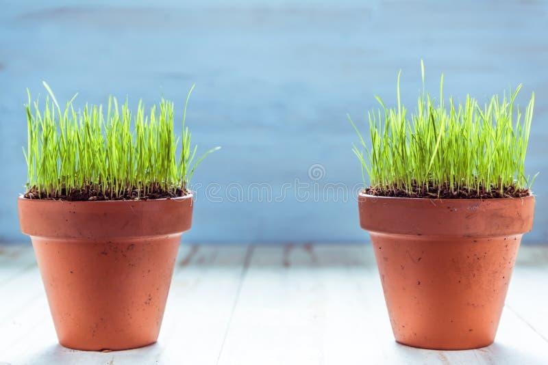 Vaso ceramico con la crescita fresca dell'erba immagine stock libera da diritti