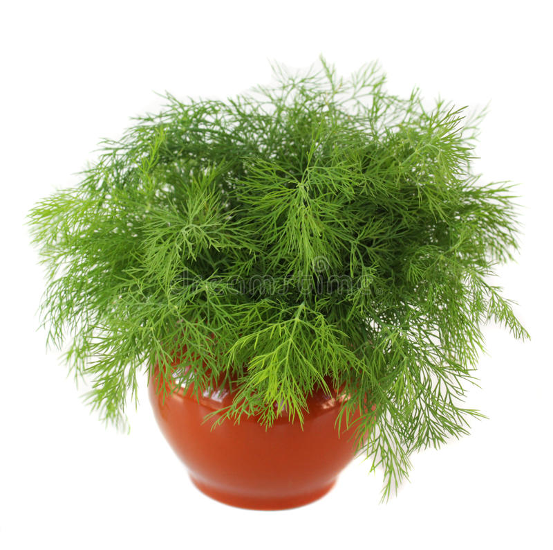 Vaso com erva-doce imagens de stock