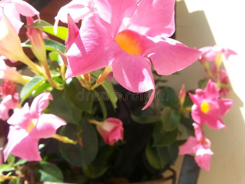 Vaso com flores do Mandevilla imagem de stock