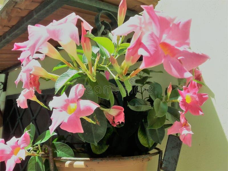 Vaso com flores do Mandevilla fotografia de stock royalty free