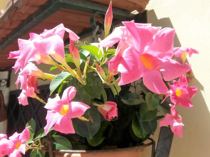Vaso com flores do Mandevilla fotos de stock royalty free