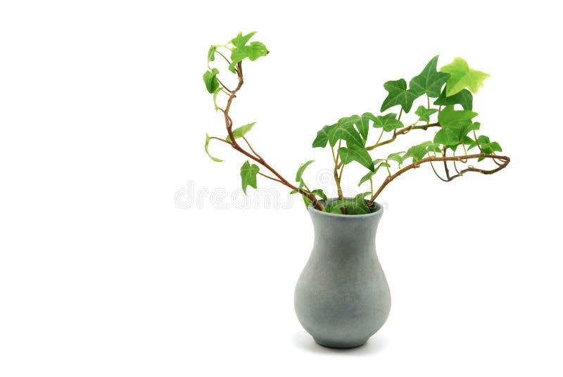 Vaso con l'edera fotografia stock