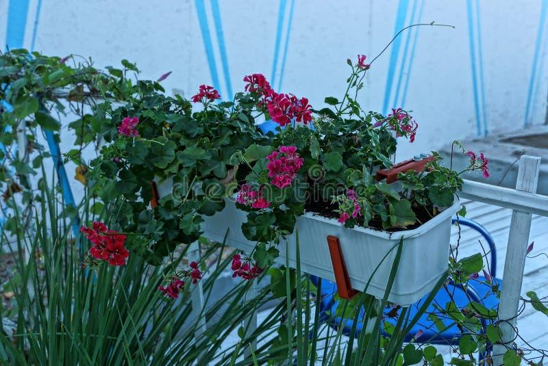 Vaso da fiori bianco con i fiori rossi sulla parete nella via immagini stock libere da diritti