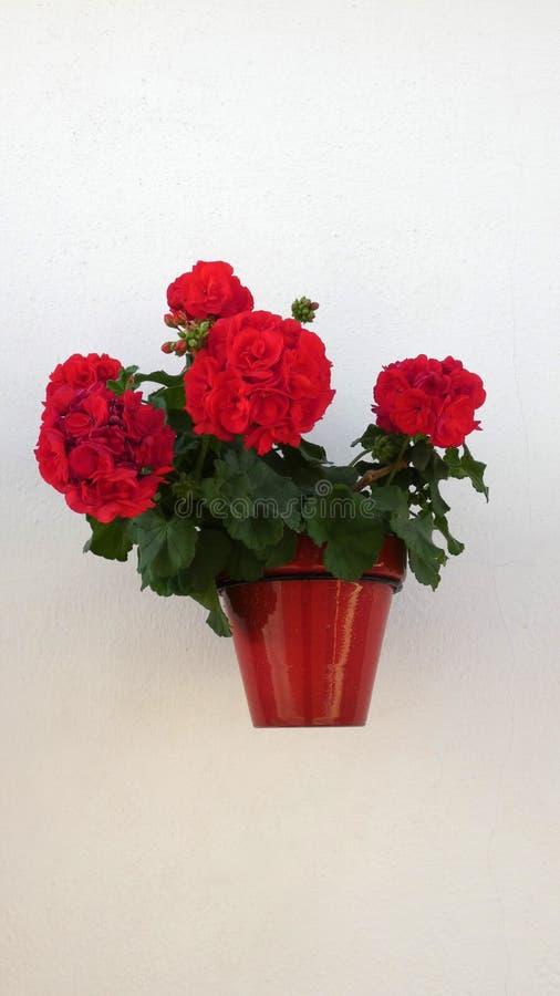 Vaso de flores com o gerânio na parede foto de stock royalty free