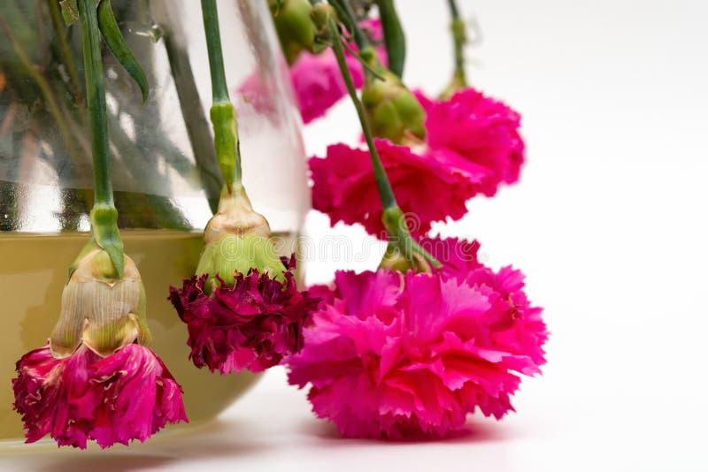 Vaso dei garofani sbiaditi su bianco fotografia stock libera da diritti