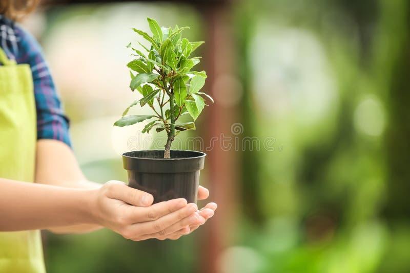 Vaso della tenuta della donna con l'albero di baia all'aperto immagini stock