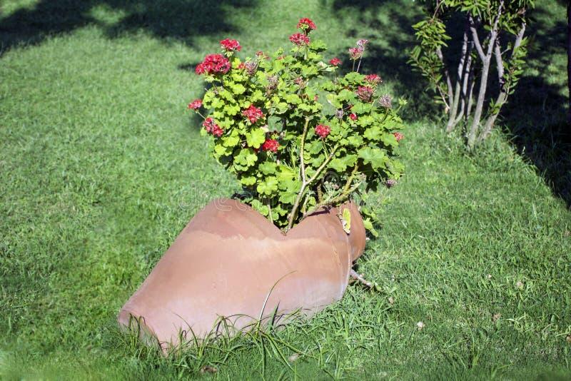 Vaso di argilla con i fiori di fioritura del geranio fotografia stock libera da diritti