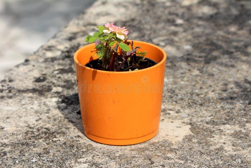 Vaso di fiore ceramico arancio con la piccola rosa di recente di fioritura con bianco ai petali viola sul fondo del muro di cemen fotografie stock libere da diritti