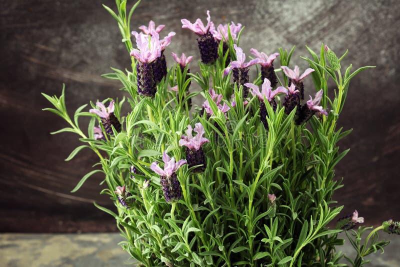 Vaso di fiore d'annata di stile e piante conservate in vaso della lavanda immagine stock libera da diritti