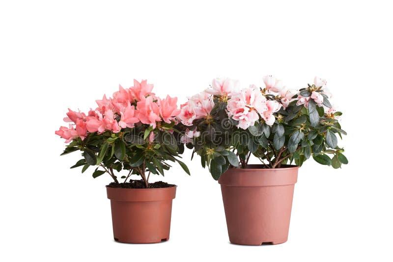 Vaso di fiore due con le azalee rosa sboccianti fotografia stock libera da diritti