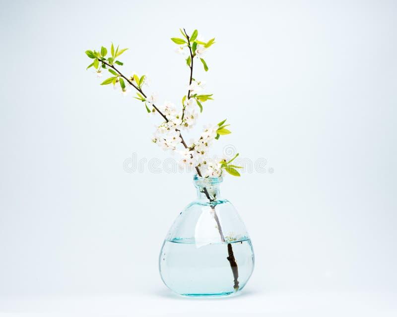 Vaso di vetro con i fiori bianchi di fioritura della ciliegia fotografia stock libera da diritti