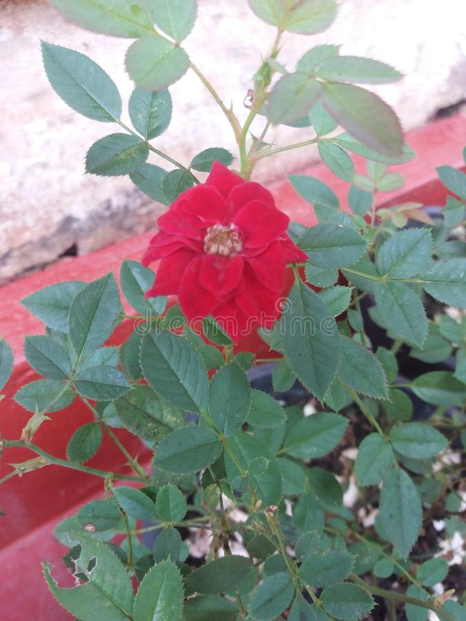 vaso home pobre da flor do jardim em um Sri Lanka imagem de stock royalty free