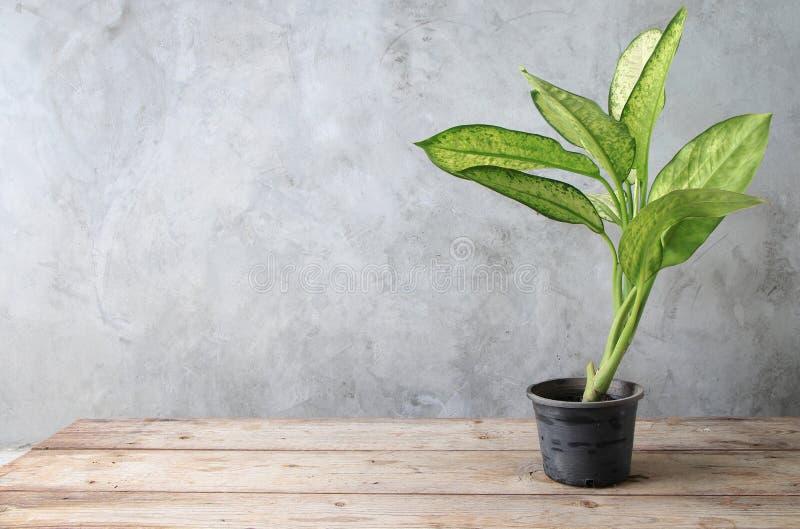 Vaso plástico da árvore nivelada colocado na madeira velha da tabela com parede do cimento imagens de stock