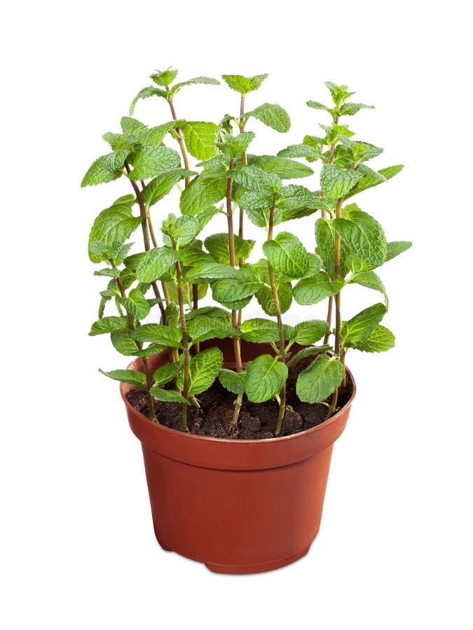 Vaso rosso con la pianta della menta fresca isolata su fondo bianco immagini stock