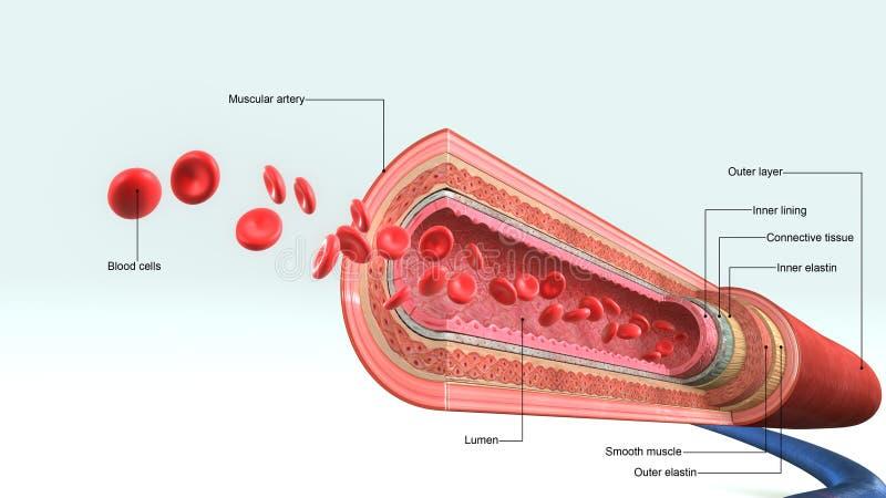 Vaso sanguíneo ilustración del vector