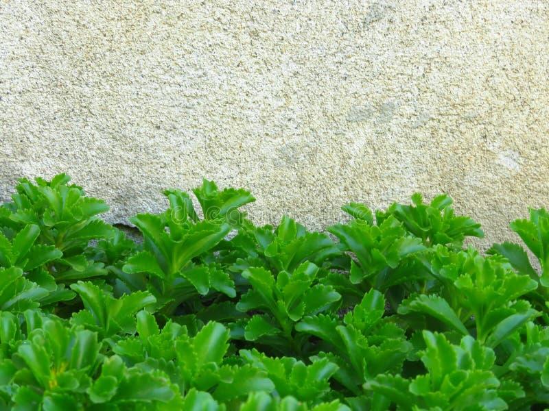 Vaso Sedum strisciante dorato Live Perennial Plant Groundcover con i fiori gialli con fogliame verde immagine stock