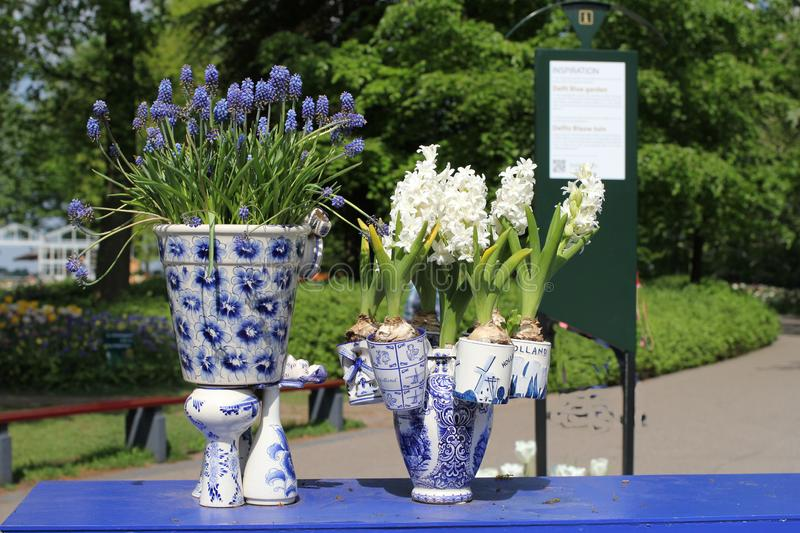 Vasos azuis da louça de Delft com o close up das flores do jacinto nos jardins do keukenhof em holland foto de stock