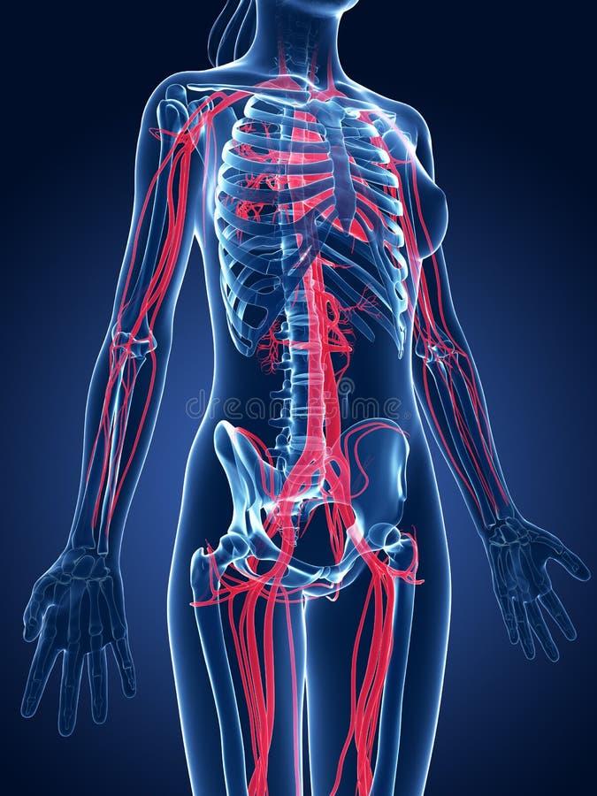 Vasos sanguíneos de Emale stock de ilustración. Ilustración de ...