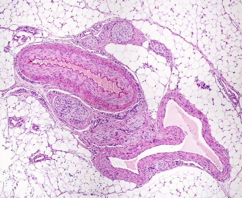 Vasos sanguíneos y nervios imagen de archivo libre de regalías