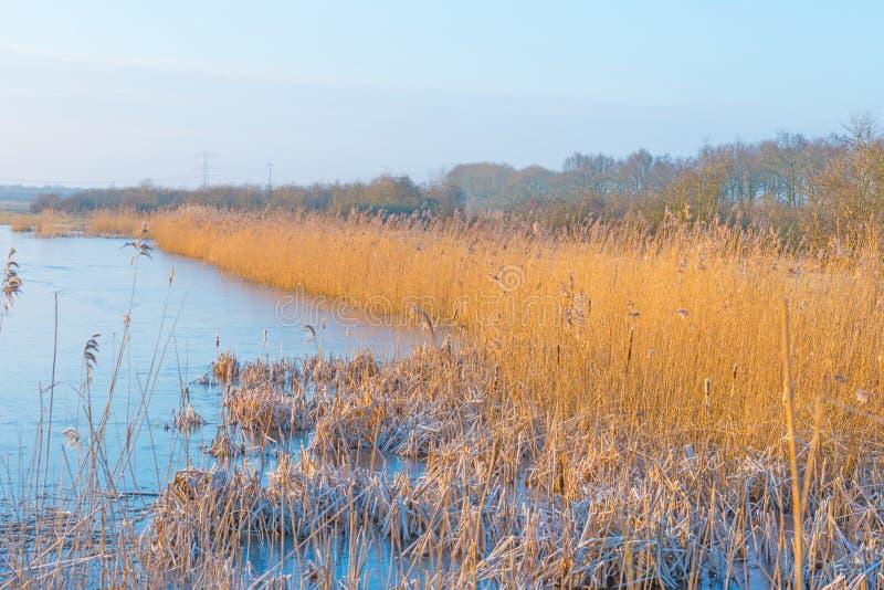 Vass i ett fält längs en djupfryst sjö på soluppgång arkivfoton
