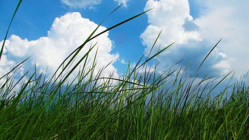 Vass på bakgrunden för blå himmel fotografering för bildbyråer