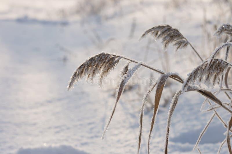 Vassväxter som täckas med rimfrost arkivfoto