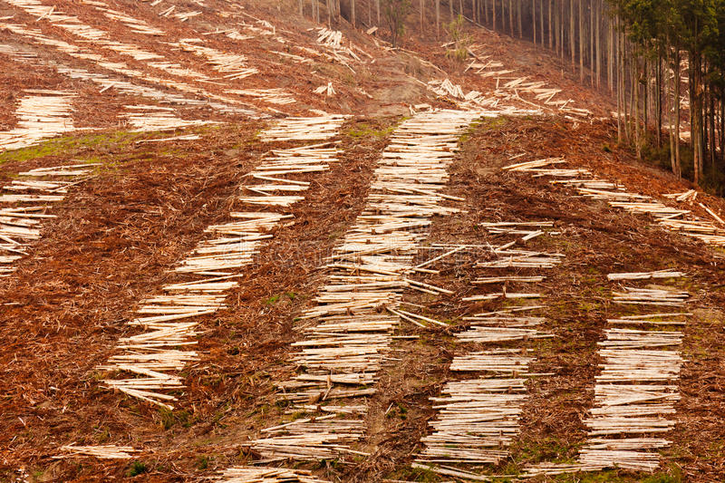Vast clearcut Eucalyptus forest for timber harvest. Panoramic view of deforested hillside by clearcutting mature Eucalyptus forest for timber harvesttimber royalty free stock images