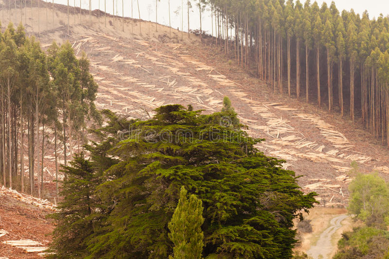 Vast clearcut Eucalyptus forest for timber harvest. Deforestation of hillside by clearcutting mature Eucalyptus forest for timber harvest stock photography